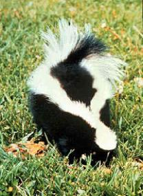 The Skunks That Make You Afraid To Enjoy Your Own Backyard.